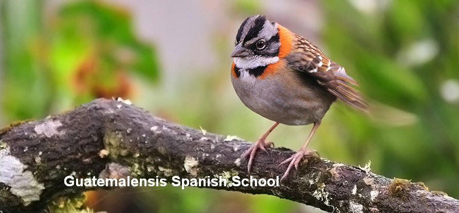 Guatemala has seven biomes that nest a wide variety of birds. In the Guatemalensis Spanish School program you can get to know many species of birds. Rufous Collared Sparrow.